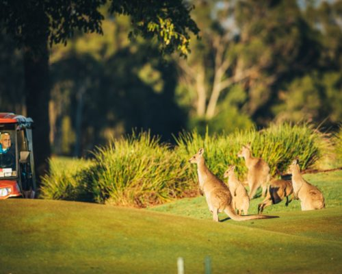 kangaroos-on-golf-course-(2)